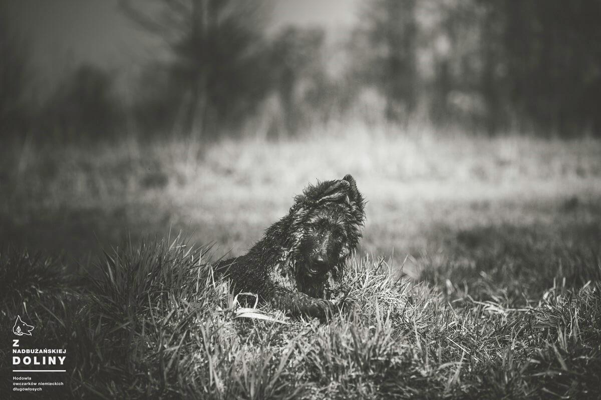owczarek-niemiecki-dlugowlosy-szczeniak
