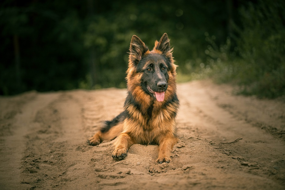owczarek-niemiecki